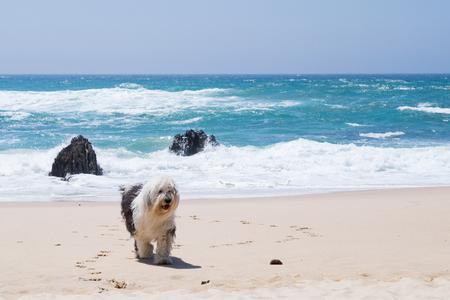 Old english sheepdog at a beach in Portugal Stok Fotoğraf