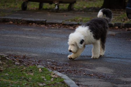 Old english sheepdog puppy walking on a way through the park