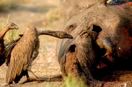 Dead of Elephant with Vulture