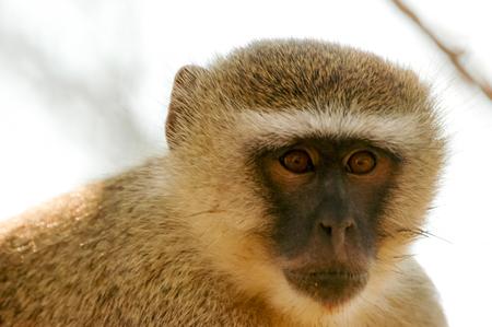 nakuru: Green monkey