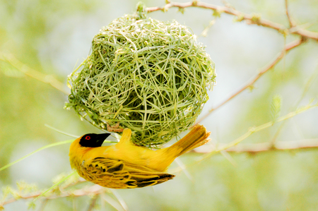 Yellow bird with nest