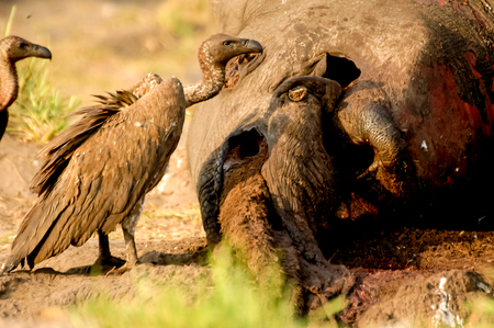 Dead elephants head with vulture Stock Photo