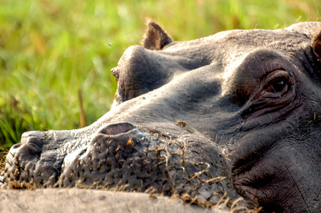 hippopotamus: Hippopotamus Portrait