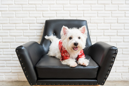 purebred dog: White terrier or westie highland dog sitting on a black chair