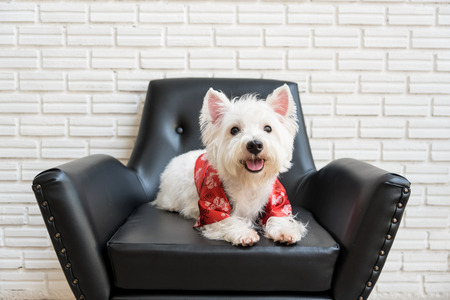 dog background: White terrier or westie highland dog sitting on a black chair
