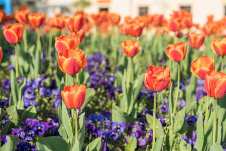 orange tulips planted in outdoor garden for spring season