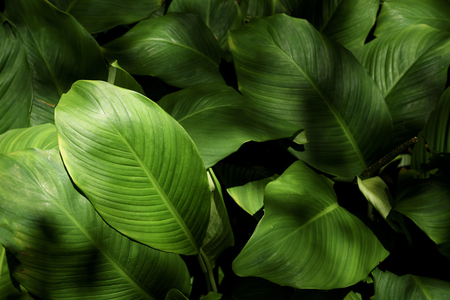 Green leaves or foliage background with lights and shadows