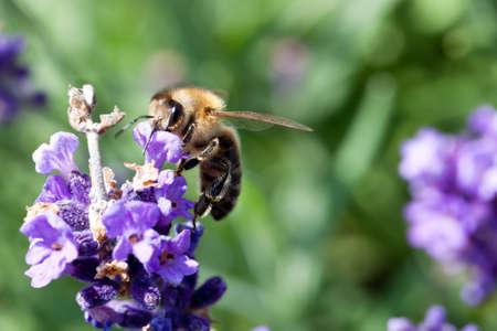 hairy closeup: Closeup of hairy bee sucking nectar on the purple flower