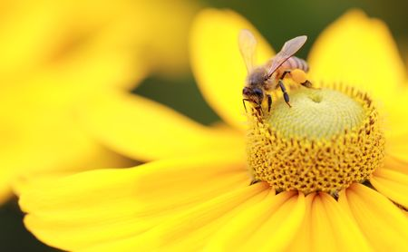 Close-up photo of a Western Honey Bee (Apis mellifera) gathering nectar and spreading pollen on a young Black-eyed Susan (Rudbeckia hirta).
