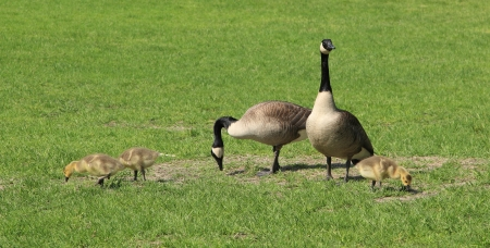 offsprings: A family of Canadian geese grazing in a field  Stock Photo