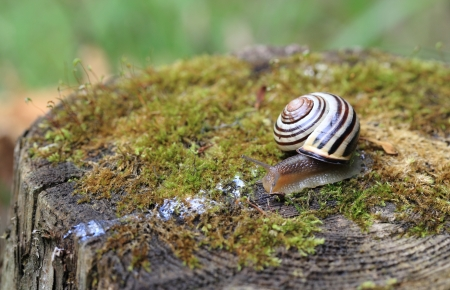 slithering: Close-up of a Grove Snail  Cepaea nemoralis  as it slithers across a mossy tree stump  Stock Photo