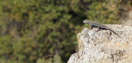 distinctive: The distinctive blue belly is visible in this male Sagebrush Lizard (Sceloporus graciosus) perched on the edge of a granite outcrop. Photographed at Yosemite National Park. Stock Photo