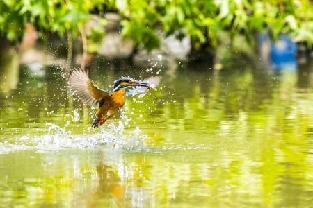 Kingfisher Фото со стока