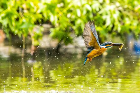 aves: Mart�n pescador Foto de archivo