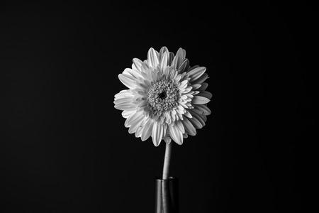 velvety: black and white flower in bloom over black background