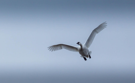tundra swan: Single Tundra swan flying at you Stock Photo