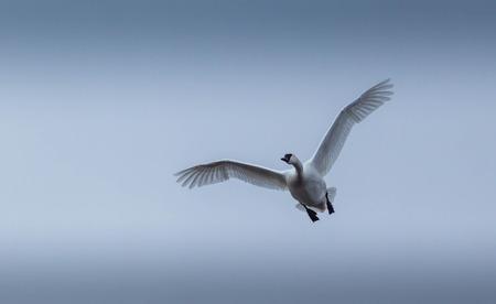 tundra swan: Soltero Tundra Cisne volando hacia ti