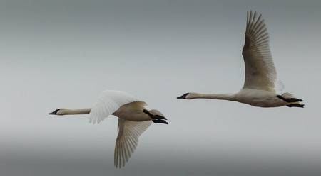 tundra swan: Dos cisnes de tundra en vuelo, contra un cielo invernal