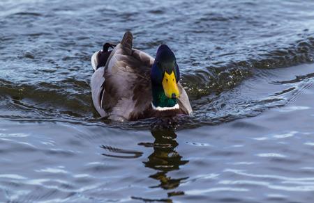 Drake Mallard swimming towards you, fast enough to create a wake.