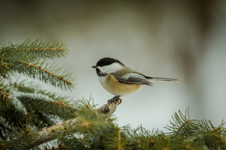 Black-capped Chickadee Sitting In The Pine Tree.