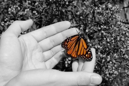A monarch butterfly in a mans hands.