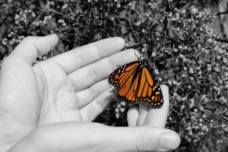 Een monarch vlinder in handen van een man.
