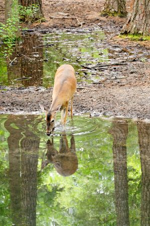 A white-tailed doe drinking water at the side of a lake.
