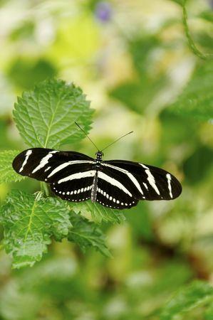 A zebra longwing butterfly on leaves.