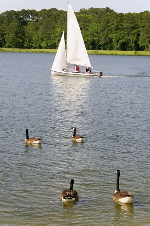 A sailboat with geese swimming in front of it at a lake.