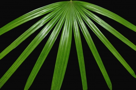 palmate: Leaves of a green palmate palm tree spreading out against a black background.