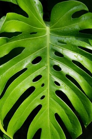Large monstera deliciosa leaf against a black background.
