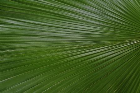 palmate: Large green palmate palm frond up close.
