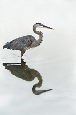 Grey heron ocean bird reflecting in the water. Stock Photo - 15450822