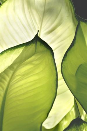 Beautiful light on aglaonema cecilia leaves