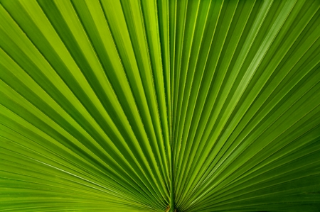 A fan like green palmate palm leaf  Stock Photo