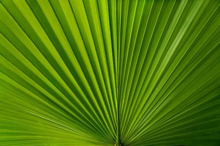 Ein Fan wie grüne palmate Palmblatt
