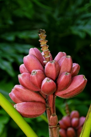 Cluster of pink velvet bananas on a stalk  Stock Photo