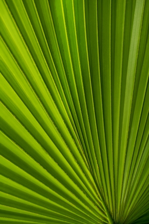 palmate: Section of a palmate palm frond