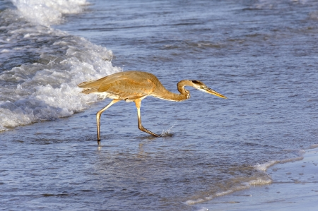 Grey heron in golden morning light fishing at the ocean. Stock Photo - 15584520
