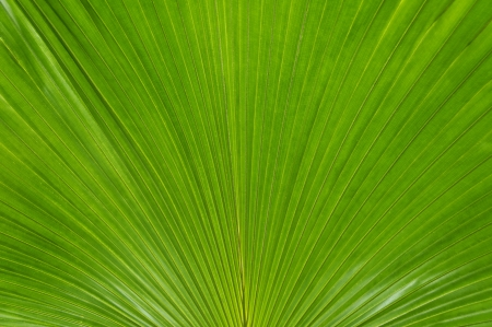 palmate: Large close-up of a green palmate palm frond background.
