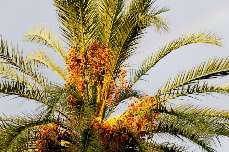 laden: Senegal date palm laden with fruit.