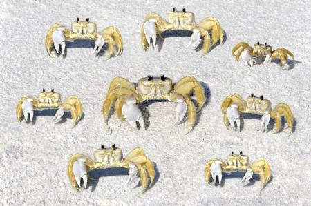 fiddler: Eight yellow fiddler crabs on the beach.