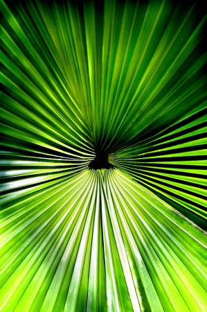 Green palmate palm frond taken from above.