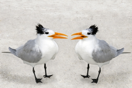 environmental conversation: Two royal terns facing each other on a sandy beach. Stock Photo
