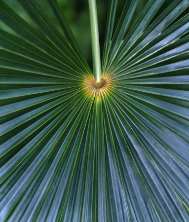 palmate: Palmate palm frond spreading out like a fan.