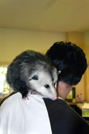 possum: Baby pet possum sitting on a mans shoulder.