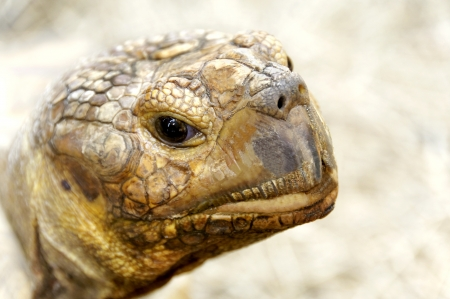 The head of an African Spurred Tortoise. Stock Photo