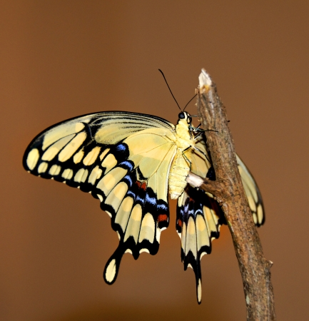 Yellow giant swallowtail butterfly on a limb. photo