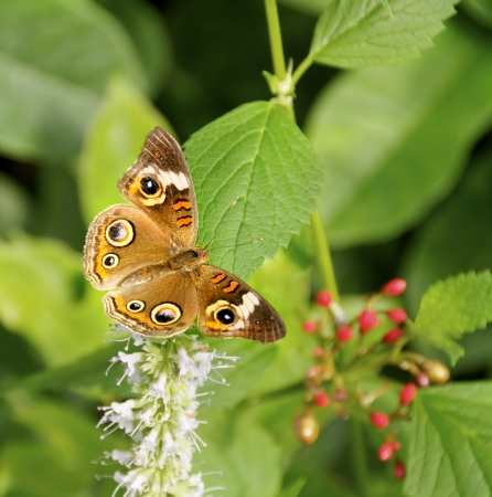 buckeye: Brown buckeye butterfly on a flower.
