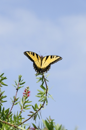 Yellow tiger swallowtail butterfly on the end of a limb. photo
